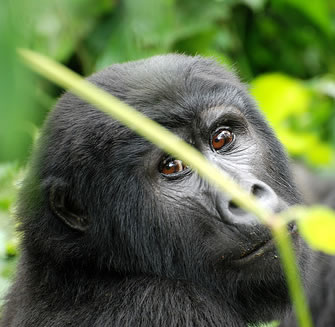 Gorillas in the Mist – Clouds Mountain Gorilla Lodge